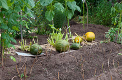 Growing pumpkins Stock Image