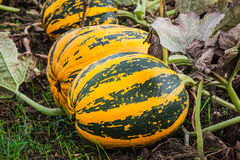 Growing pumpkins in the field Stock Photography