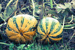 Growing pumpkins in the field Stock Image
