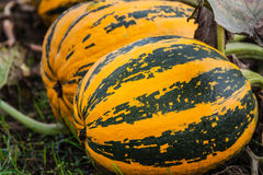 Growing pumpkins in the field Royalty Free Stock Images