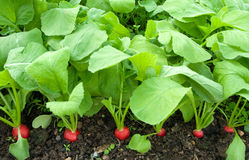 Growing radish. Red round radish in the beds Stock Images