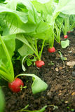 Growing radish. Red round radishes in the beds Royalty Free Stock Photo