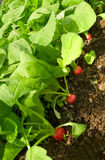 Growing radish. Red round radishes in the beds Royalty Free Stock Image