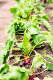 Growing radish. Red radishes growing in the garden. Shallow focus Stock Photography