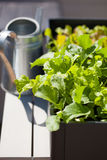 Growing radish and salad in container on balcony. vegetable gard Stock Photos