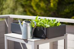 Growing radish and salad in container on balcony. vegetable gard Stock Image