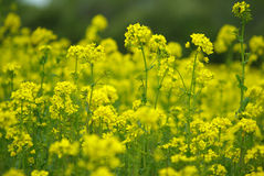Growing rape seed Royalty Free Stock Photography