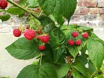 Growing raspberries Stock Photography