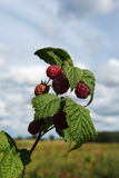 Growing raspberries. Royalty Free Stock Images