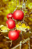 Growing red apples. Apple fruits growing in apple tree branch Stock Images