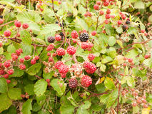Growing red and blackberries on a shrub royalty free stock photography