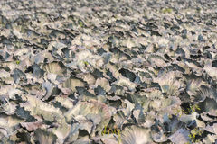 Growing Red Cabbages plants in a large field Stock Photo