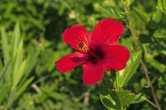 Growing red hibiscus Royalty Free Stock Image