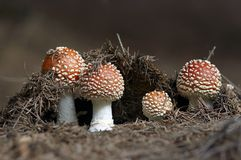 Growing Red Toadstool Royalty Free Stock Image