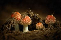 Growing Red Toadstools Royalty Free Stock Images