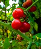 Growing red tomatoes Branch in garden royalty free stock photo
