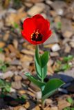 Growing red tulip royalty free stock photos