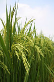 Growing rice Stock Photo
