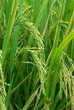 Growing rice Stock Photography