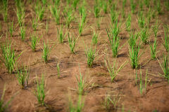 Growing rice Royalty Free Stock Image