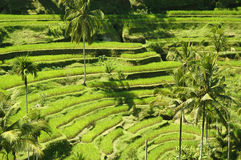 Growing Rice. This is a typical Asian landscape Royalty Free Stock Image