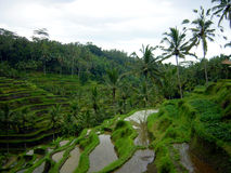 Growing rice. Terraces rice plantation on Bali Stock Images