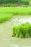 Growing rice in farm Royalty Free Stock Image