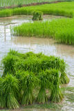 Growing rice in farm Royalty Free Stock Photos