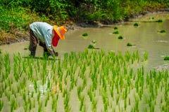 Growing rice Royalty Free Stock Photo