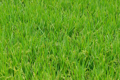 Growing rice field Stock Image
