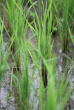 Growing rice Stock Images