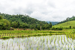 Growing rice fields on terraced in rainy season in Thailand Stock Images