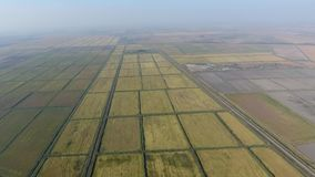 Growing rice on flooded fields. Ripe rice in the field, the beginning of harvesting. A bird`s-eye view. Flooded rice paddies. Agronomic methods of growing rice stock video