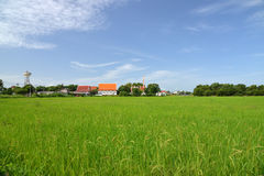Growing rice and green grass field near temple Royalty Free Stock Images