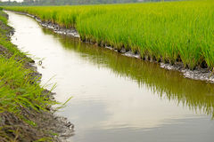 Growing rice and green grass field Royalty Free Stock Photo