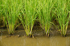 Growing rice and green grass field Stock Image