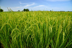 Growing rice and green grass field Royalty Free Stock Image