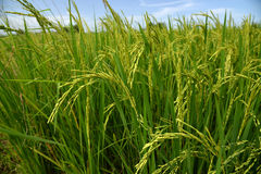 Growing rice and green grass field Royalty Free Stock Images