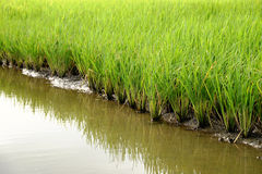 Growing rice and green grass field Stock Photo
