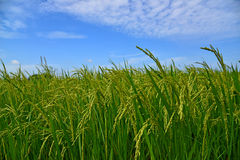 Growing rice and green grass field Stock Photos