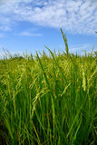 Growing rice and green grass field Royalty Free Stock Photography