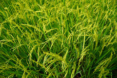 Growing rice and green grass field Stock Images