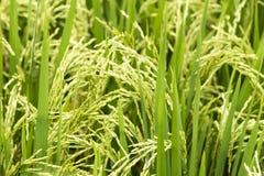 Growing rice Royalty Free Stock Image