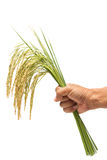 Growing rice in hand Stock Images