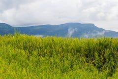 Growing rice on high mounatain Stock Photography