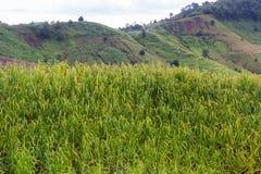 Growing rice on high mounatain Royalty Free Stock Photos