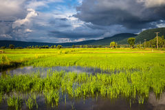 Growing rice land Royalty Free Stock Photos