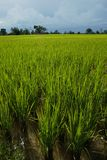 Growing rice plants Stock Images