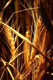 Growing rice on strong light Stock Images