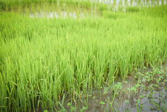 Growing rice tree Royalty Free Stock Photos